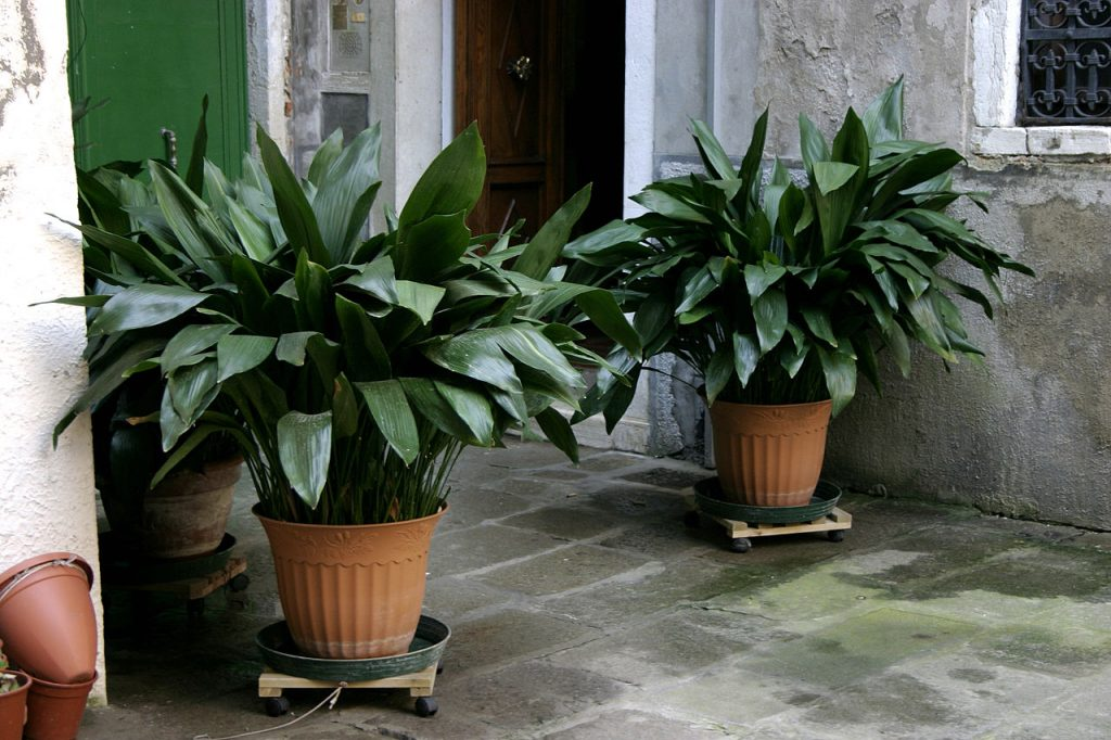 The cast iron plant is a plant that thrives in North Florida