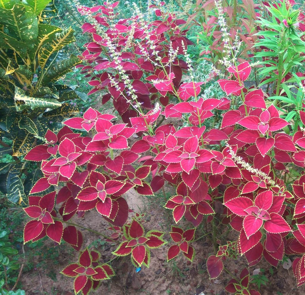 Coleus is a plant that thrives in North Florida