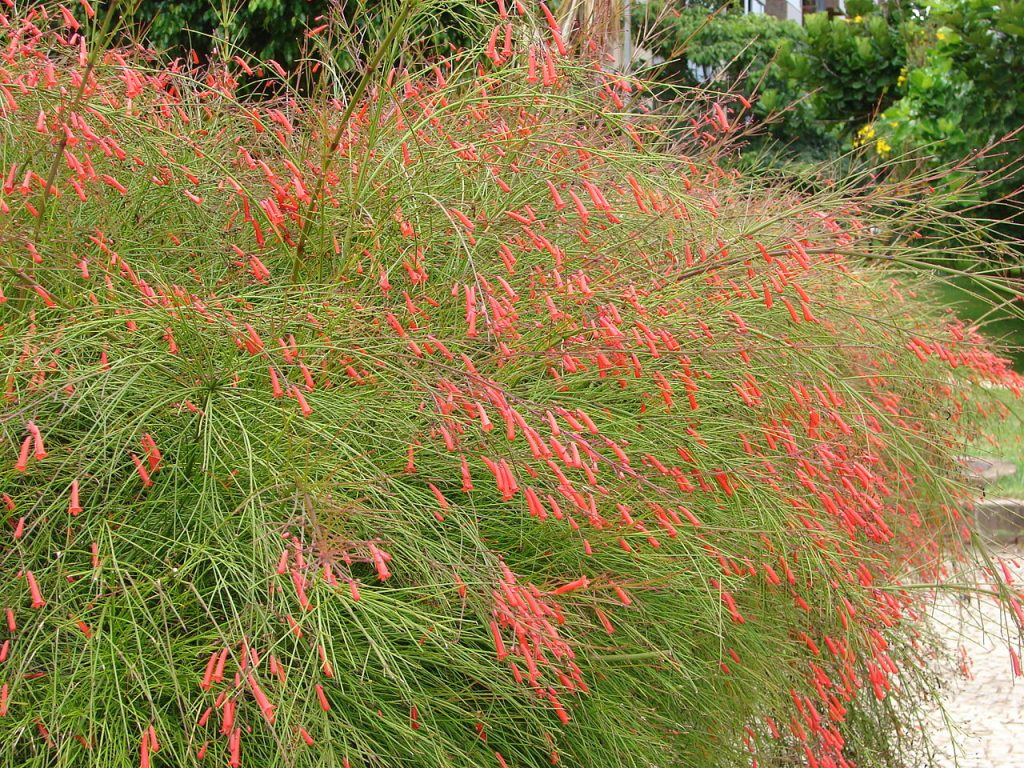 The firecracker plant is a plant that thrives in North Florida
