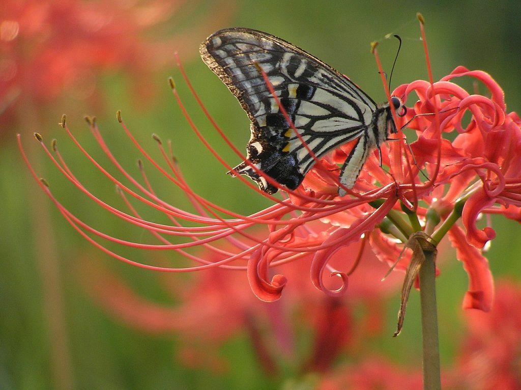 The red spider lily is a plant that thrives in North Florida